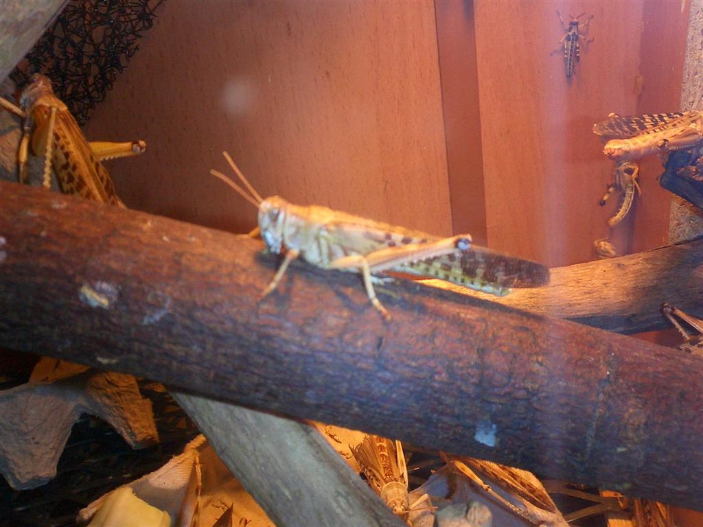 Locust Breeders Help Reptile Forums
